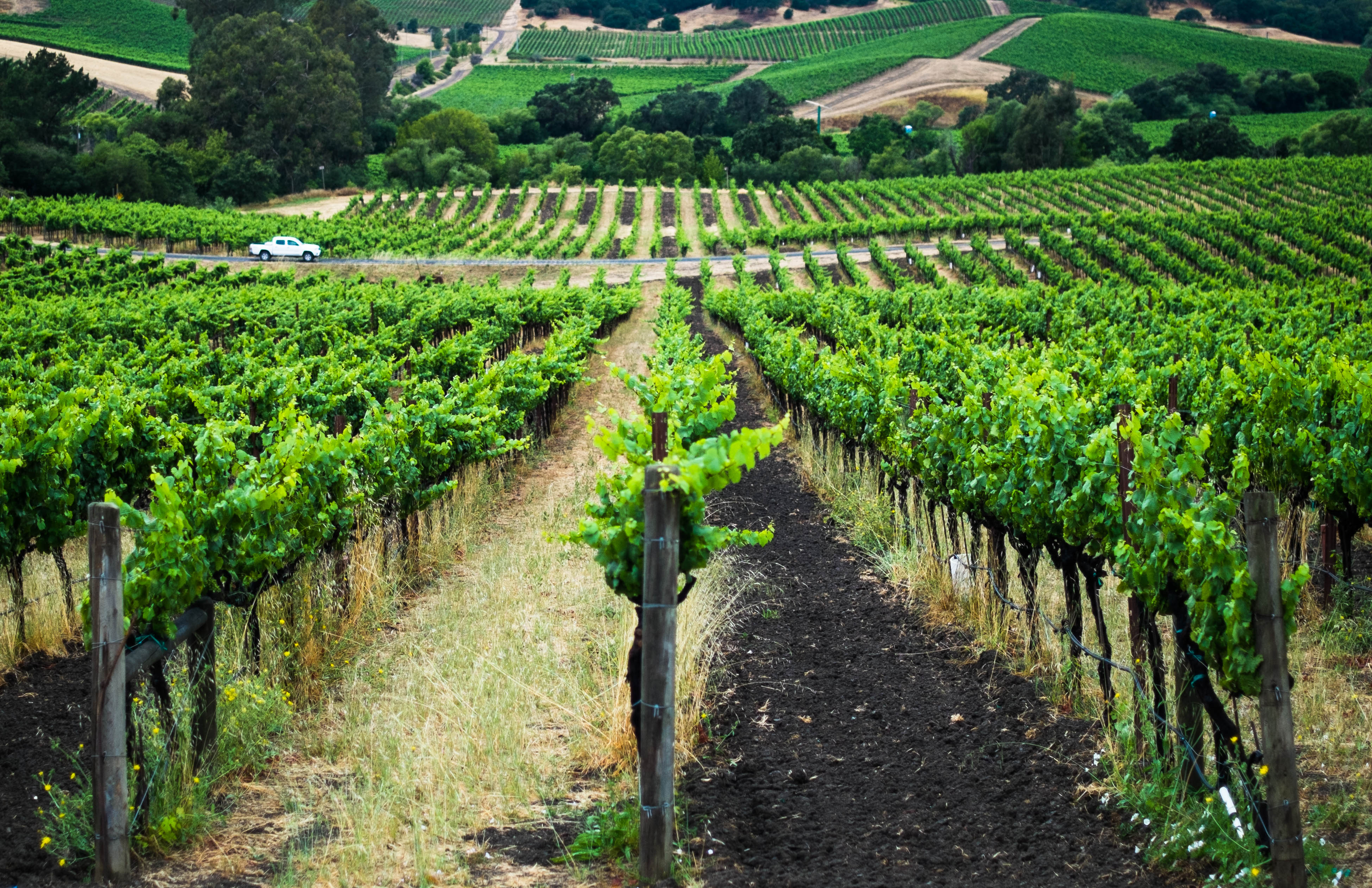 The vineyards stretch endlessly into the rolling hills